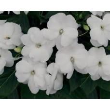 New Guinea Impatiens - White - 4.5 inch pot