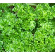 Parsley - Curly Leaf - 4 inch pot