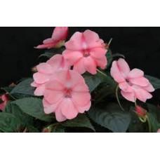 SunPatiens - Pink - 4.5 inch pot