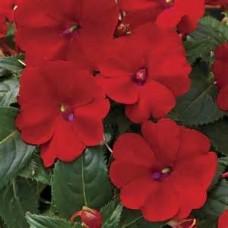 SunPatiens - Red - 4.5 inch pot