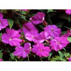 SunPatiens - Purple - 4.5 inch pot
