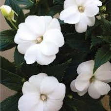SunPatiens - White - 4.5 inch pot