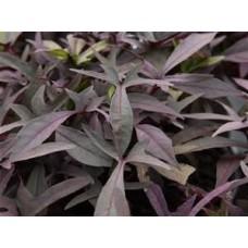 Sweet Potato Vine - Black - 4.5 inch pot