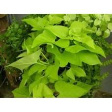 Sweet Potato Vine - Lime - 4.5 inch pot