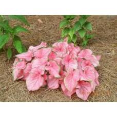 Caladiums - Pink - 6 inch pot
