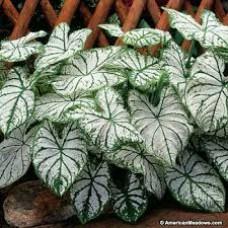 Caladiums - White - 6 inch pot